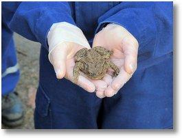 erdkrötenweibchen